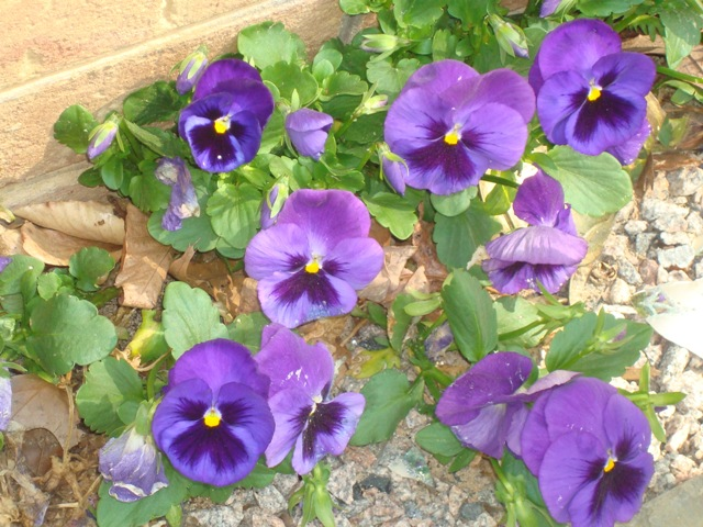 TS spilled pansies 2
