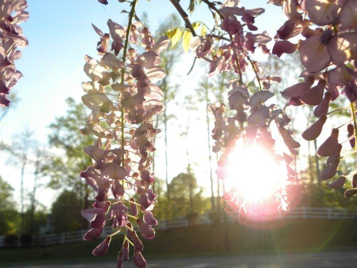 Lori's sunshine through wisteria
