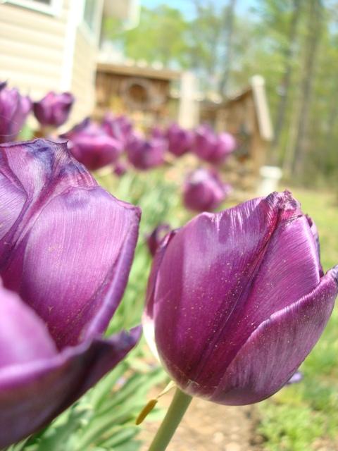 TS closeup row of purple tulips