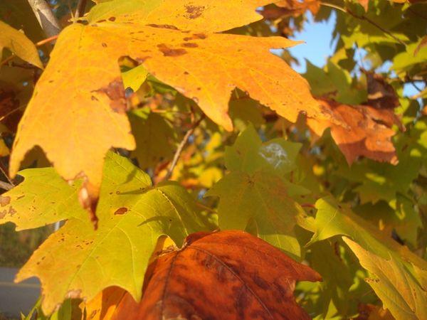 Maple bouqet