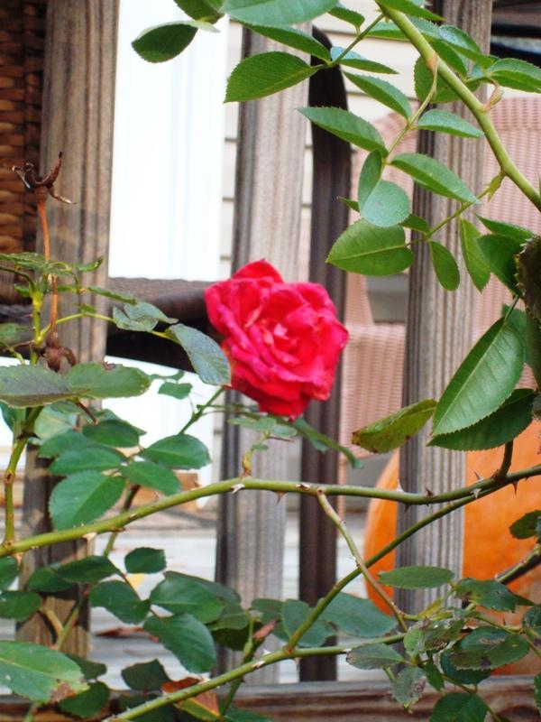 November's last rose