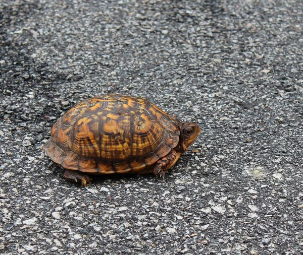 Turtle in the road