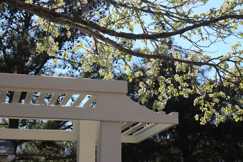 Manteo pergola and pear tree2