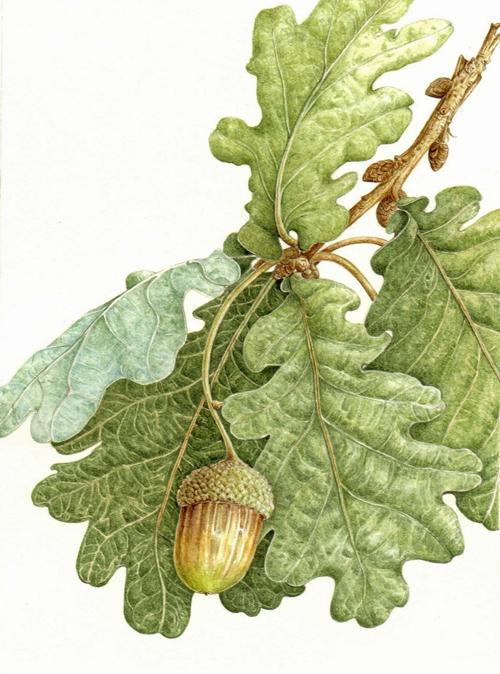 Bestbotanical Quercus robur Acorn 500 x 674