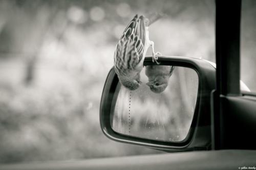Bird on side mirror
