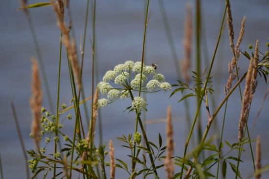 Queen's anne's lace on dune