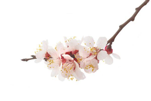 3270almond_tree_flower