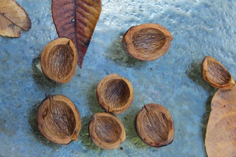Hickory shells