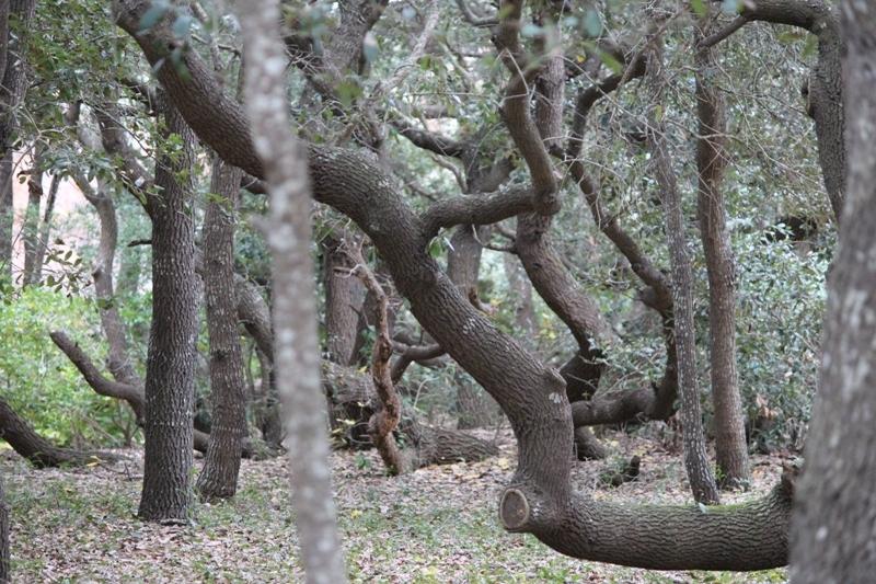 Beach oak