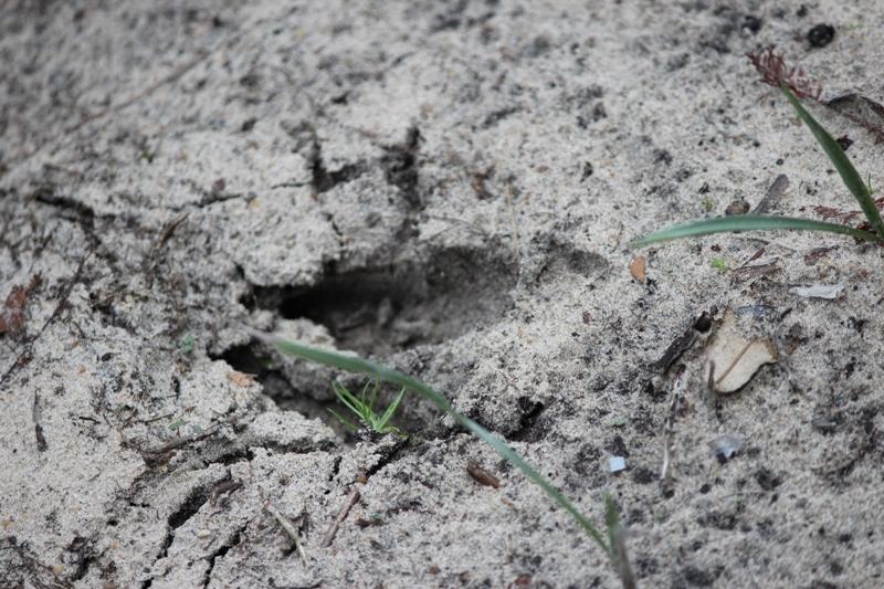 Deer print in sand