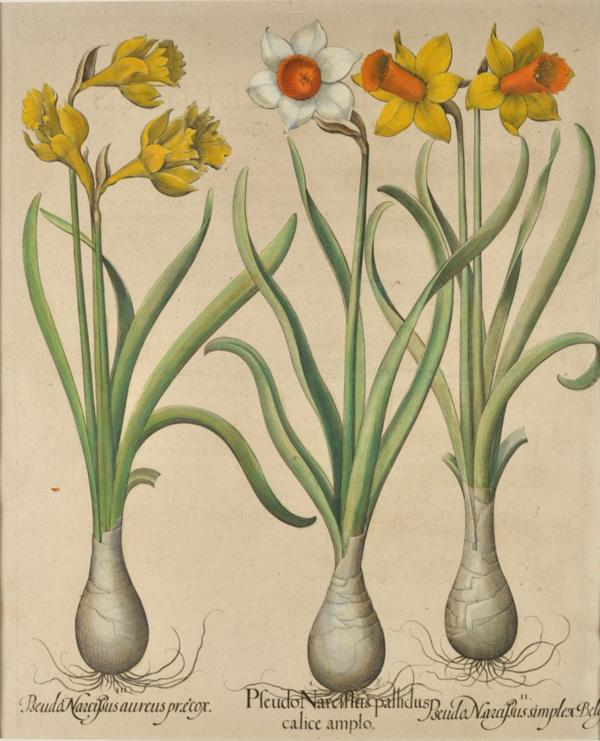 Basilius Besler (1561-1629)-