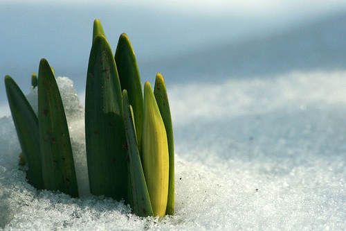 Snow_daffodils