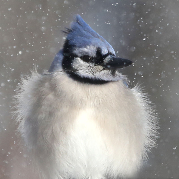 Blue-jay-puffed-out-in-snow-101
