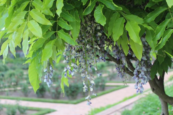Biltmore Gardens Wisteria